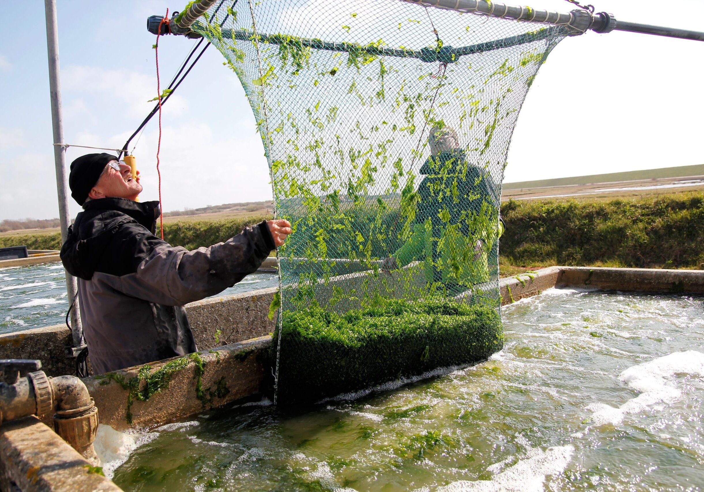 Zeewier telen op het land met vers zilt-bronwater